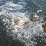 Запуск рыбы 2014 г.